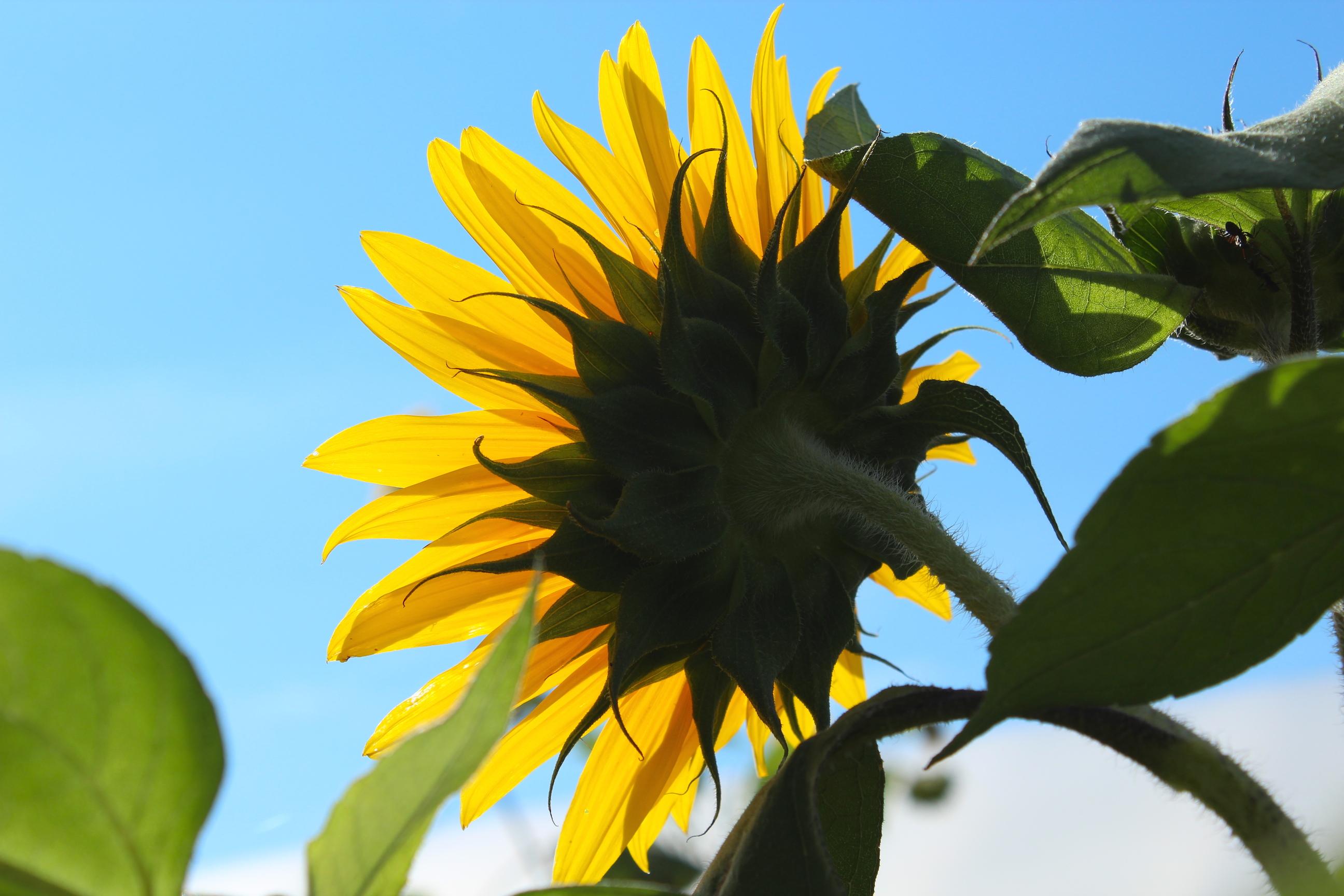 Illuminated sunflower (Rebekah Carter 2014)