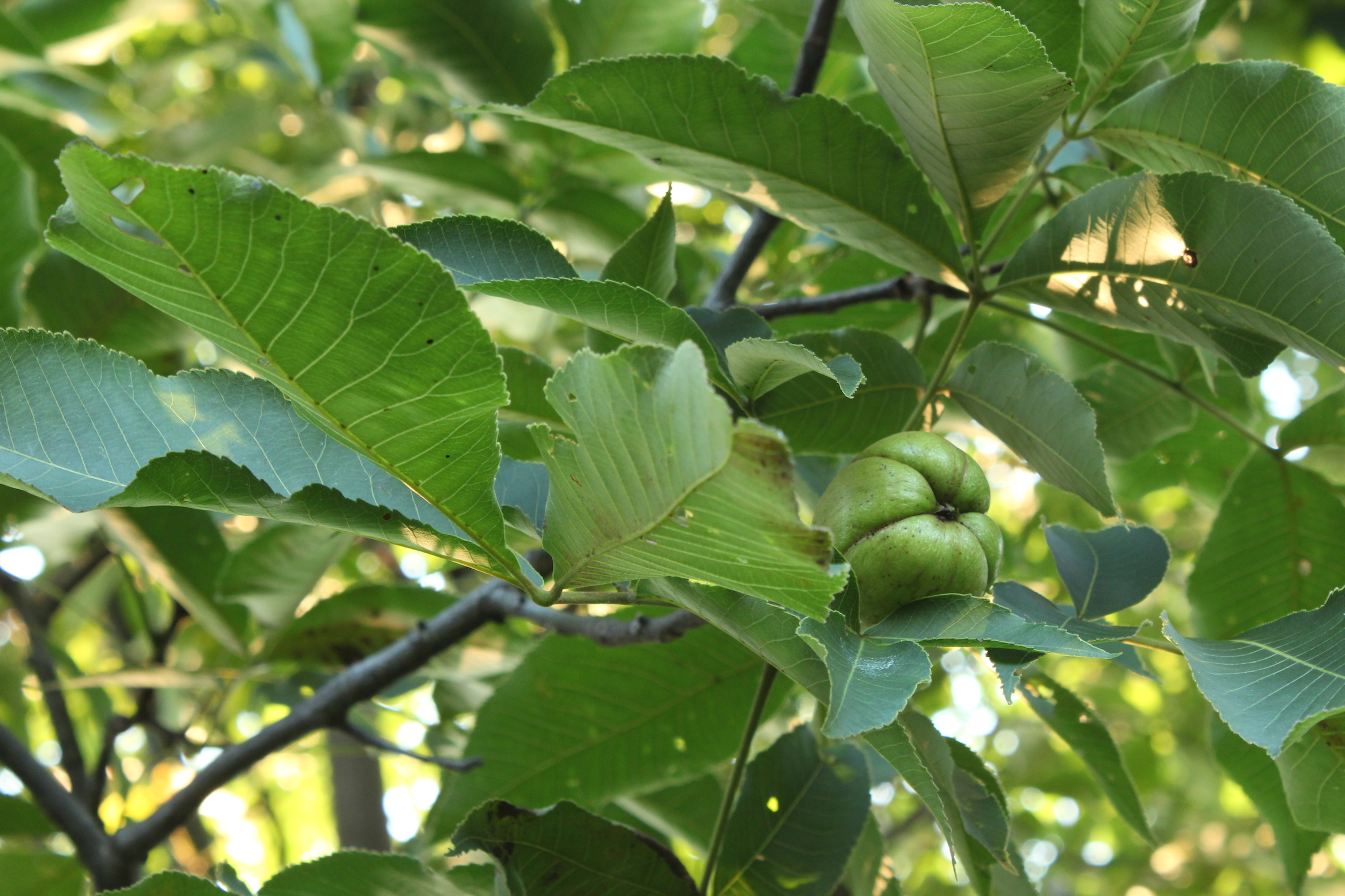 Shagbark hickory tree with nuts (Rebekah Carter 2014)