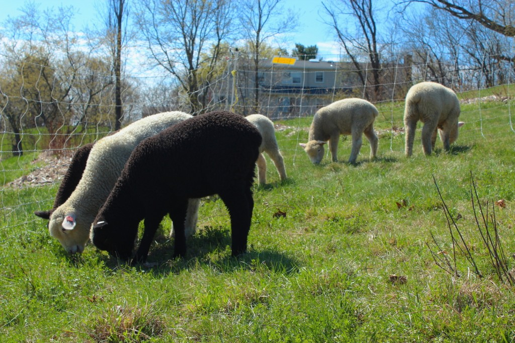 Lambs graze in the spring (Rebekah Carter 2014)