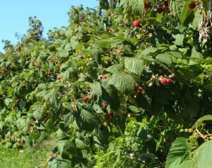 Raspberry Volunteers