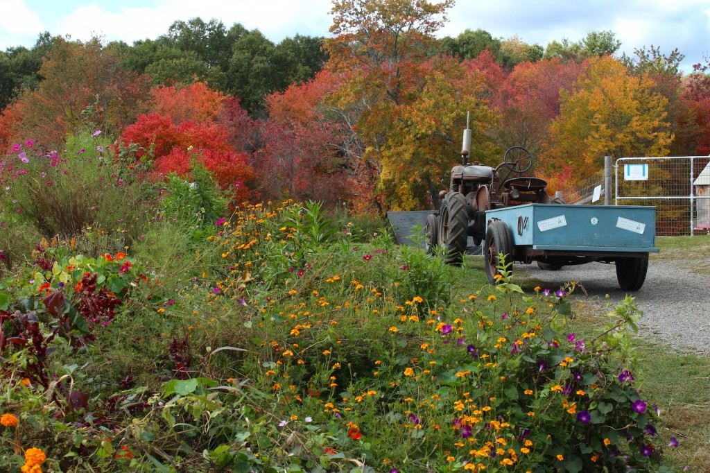 Farmall in the fall (Rebekah Carter 2014)