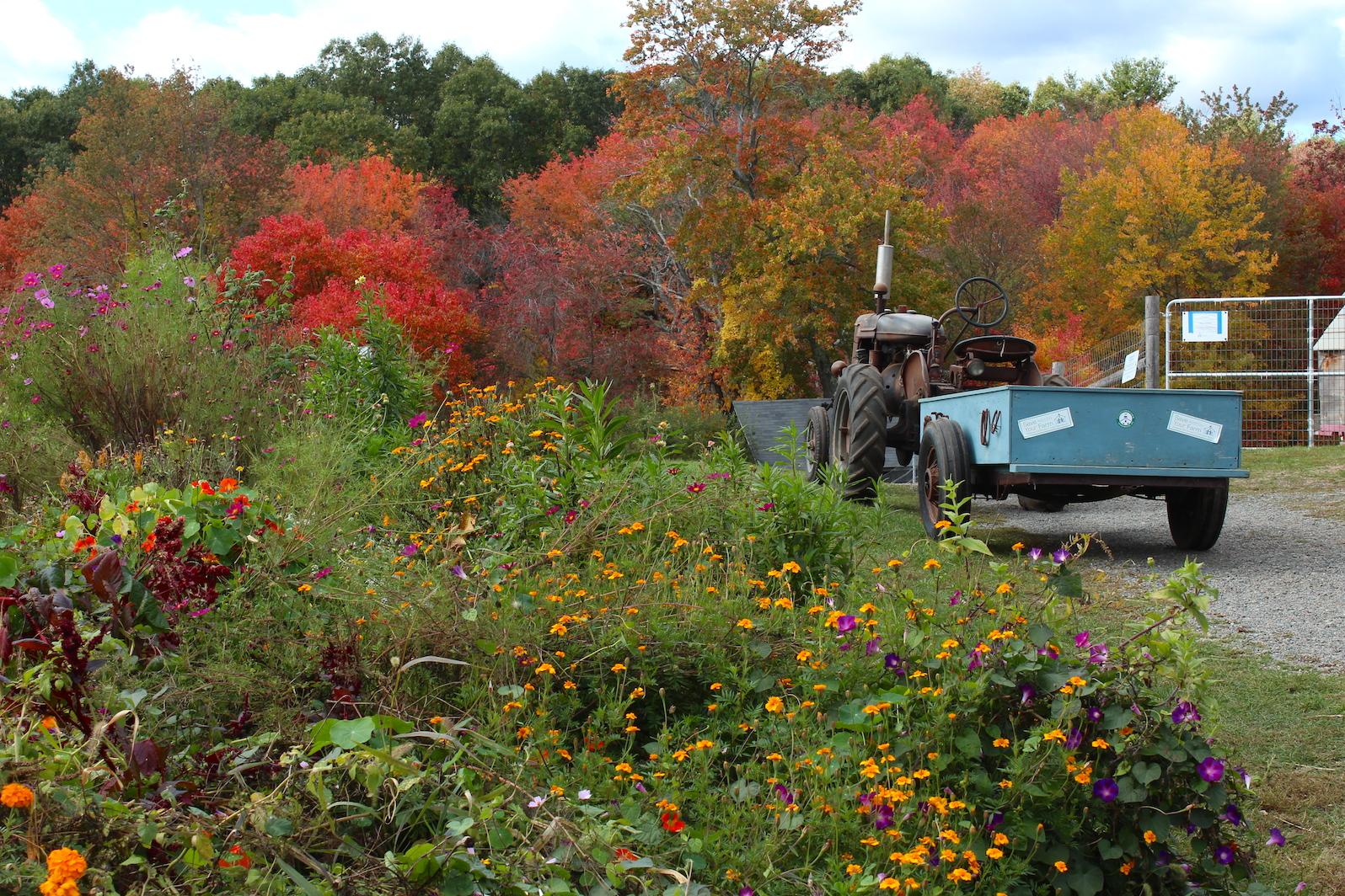 Farmall tractor in the fall (Rebekah Carter 2015)