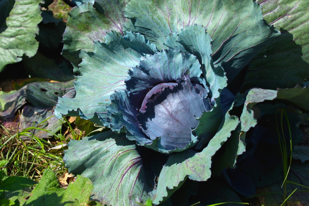 Red cabbage in the garden (Rebekah Carter 2013)