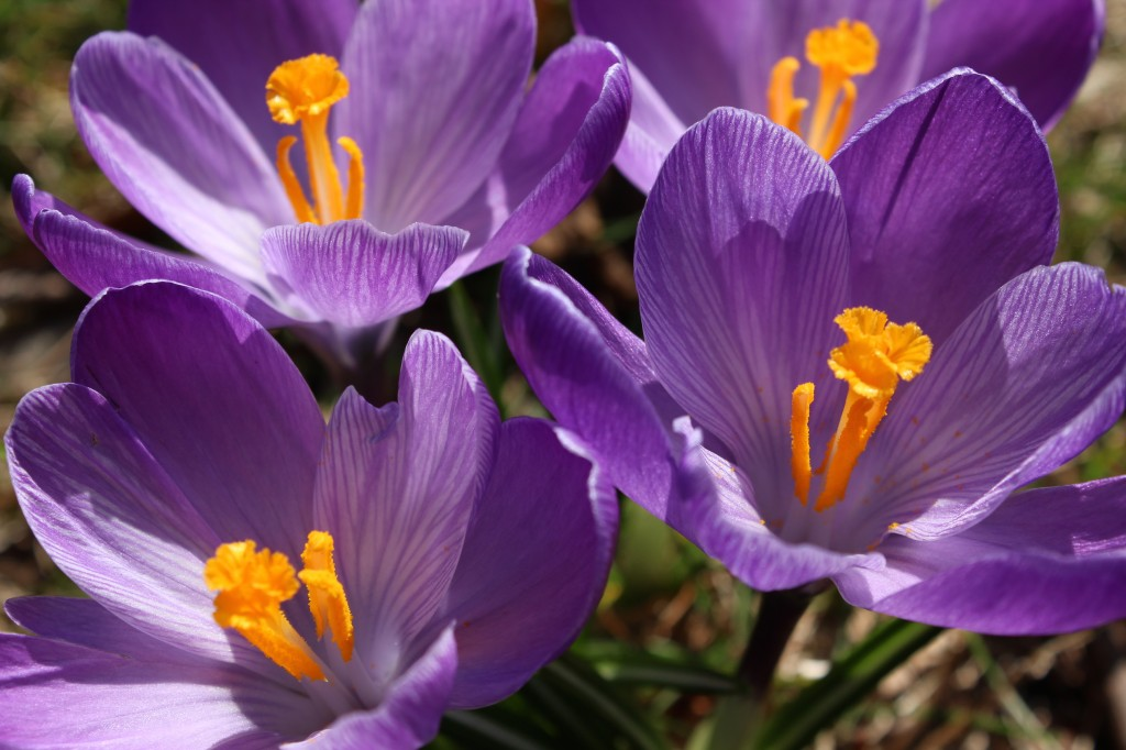 Crocuses in spring (Rebekah Carter 2012)
