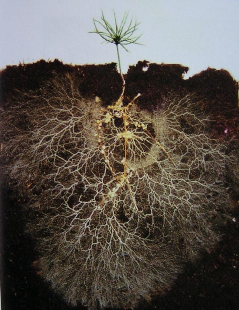 mycorrhizal network