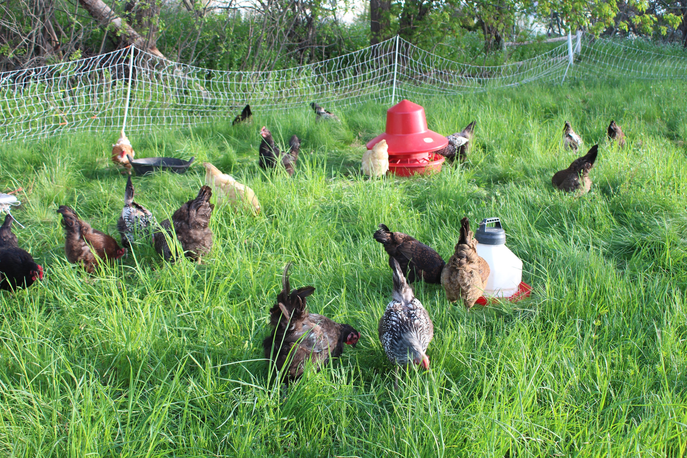 ChickenPasture2_web