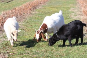 A Closer Look at Animals on the Farm (Part Four): Goats
