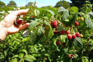 A Walk Amongst the Raspberry Bushes